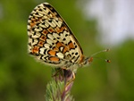 Glanville Fritillary (Melitaea cinxia)